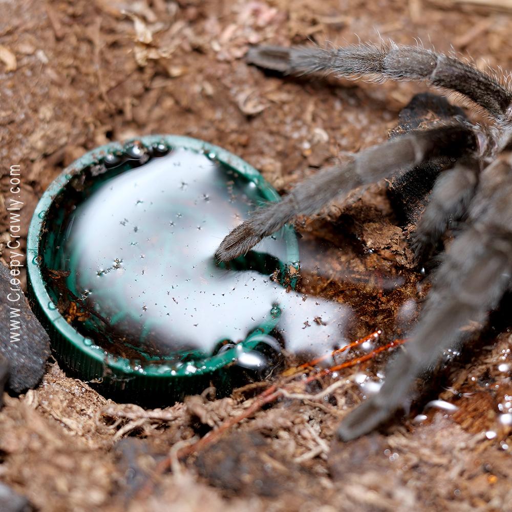 tarantula with water dish