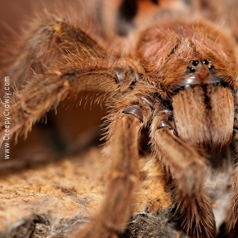 How Often Do You Need to Clean Your Tarantula's Cage?