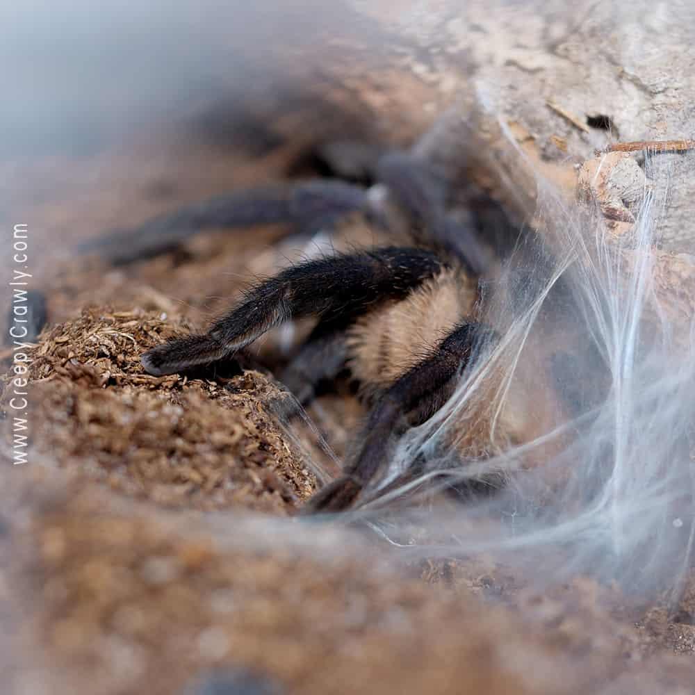 tarantula waiting for food in burrow