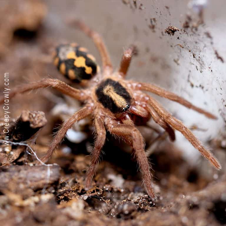 Do You Have to Gut Load Feeders for Tarantulas?