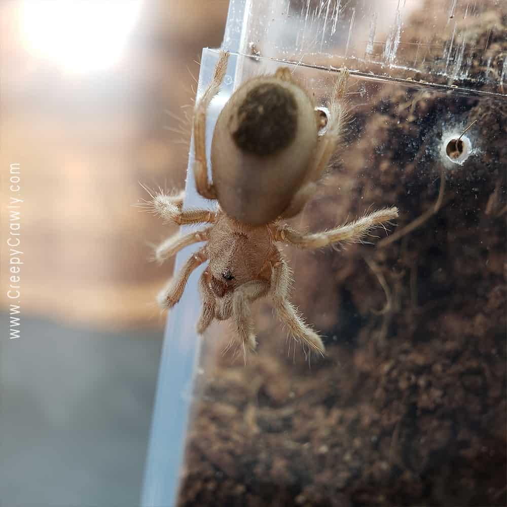 tarantula sling on enclosure