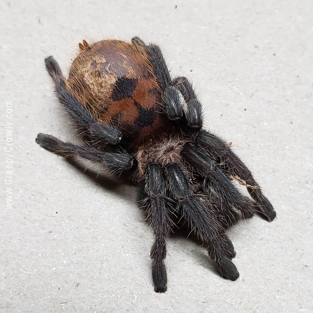 super stressed out tarantula