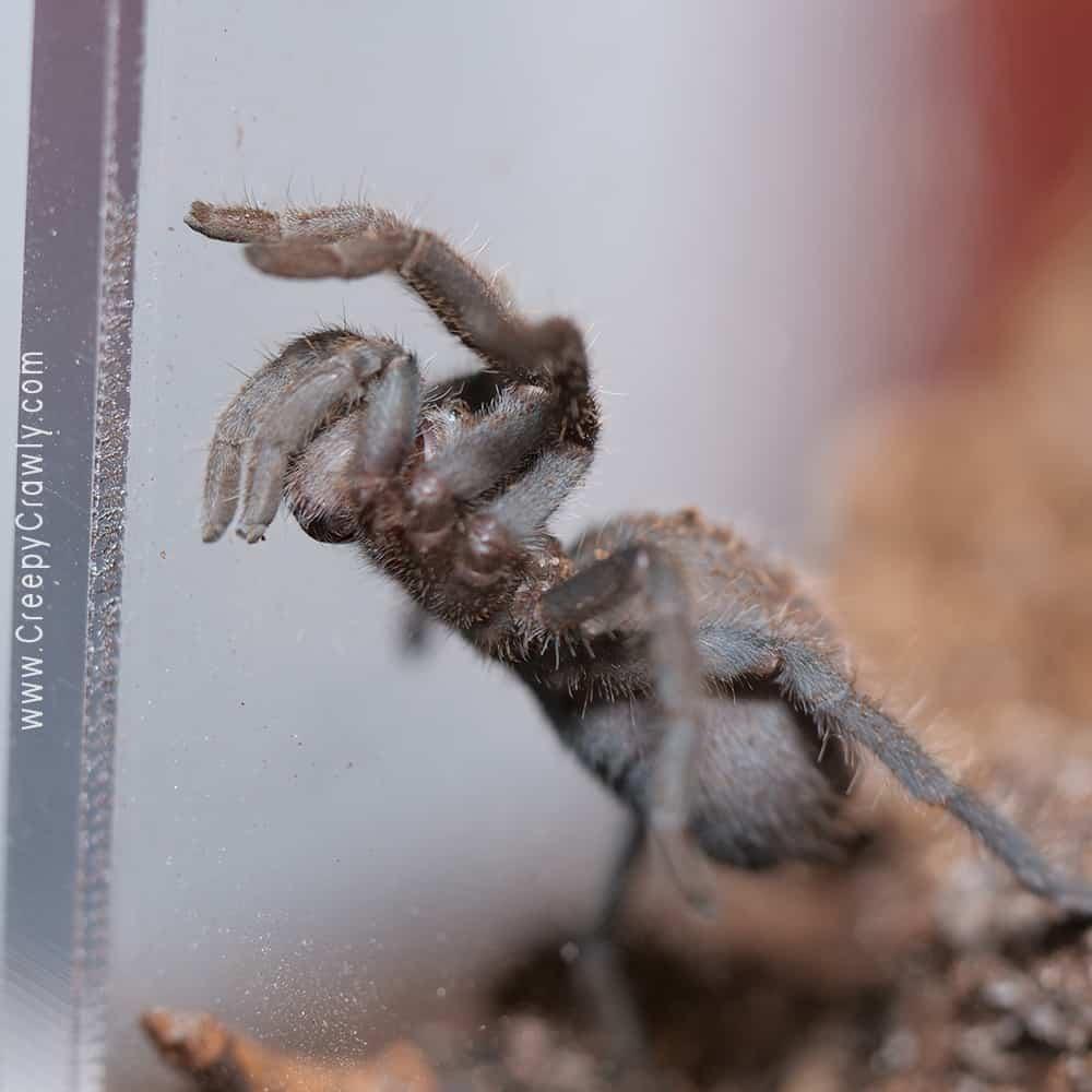 tarantula getting ready to climb