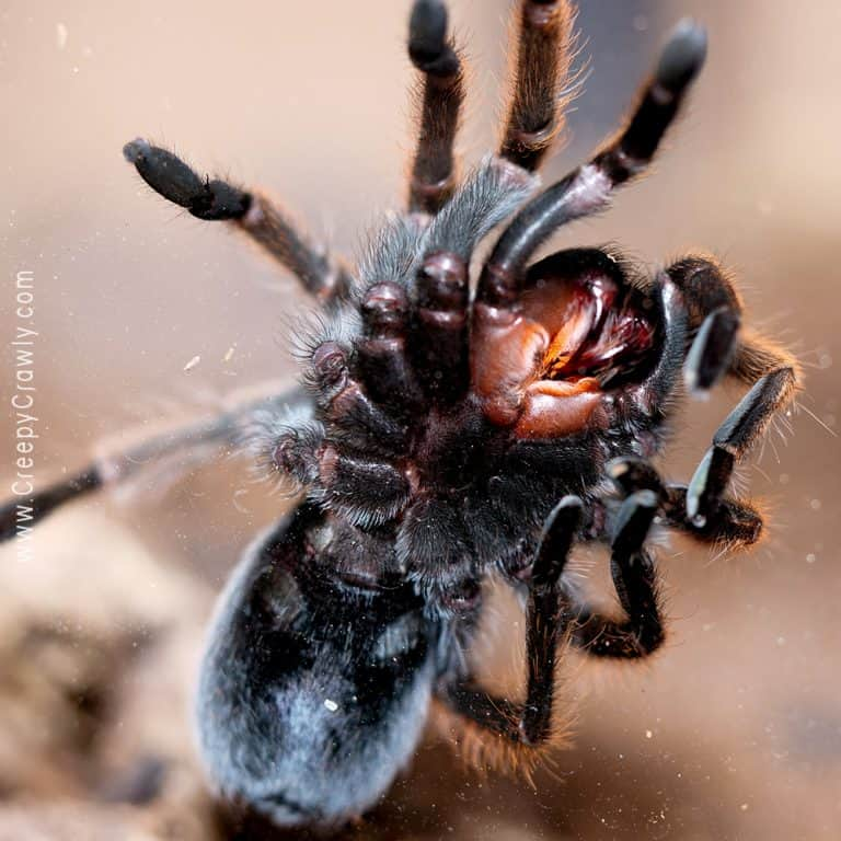 Are Tarantulas Dirty Pets?
