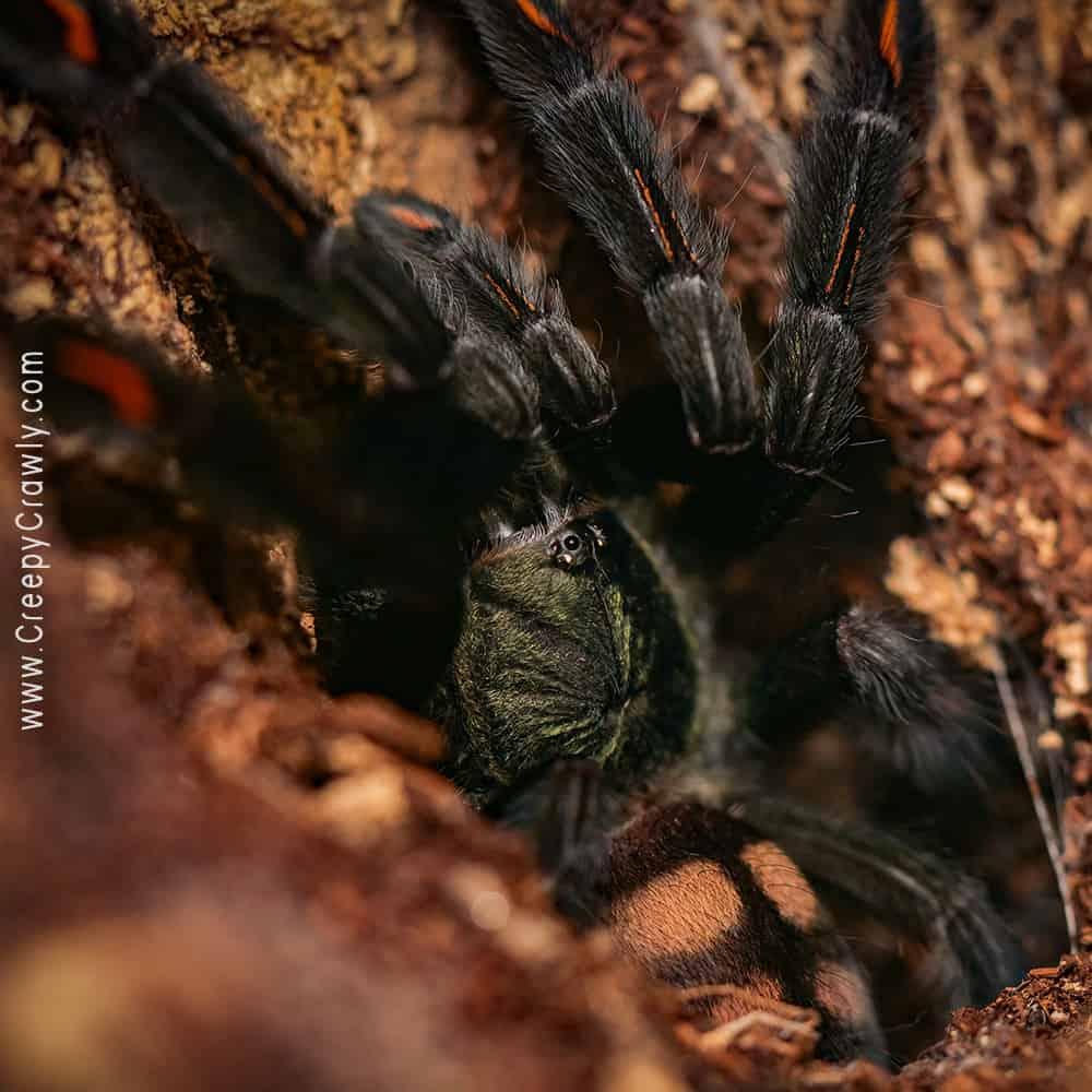 tarantula in log