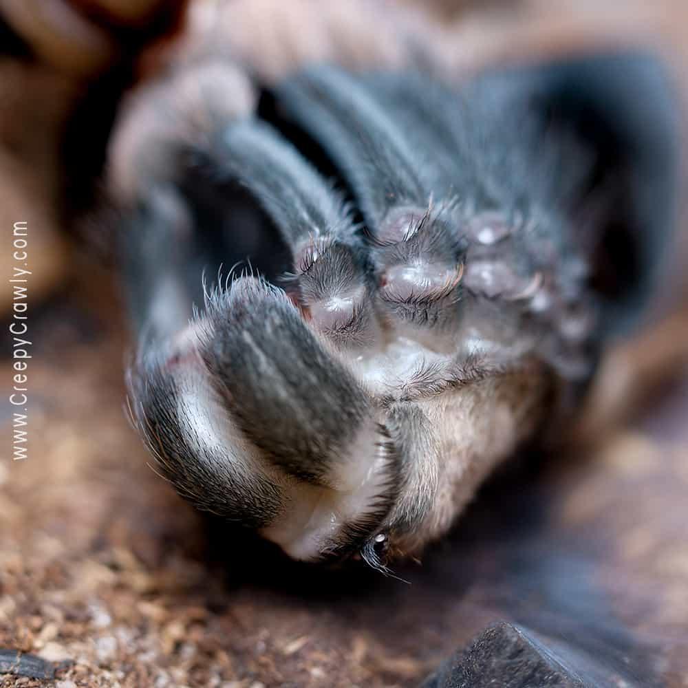 tarantula in process of molting