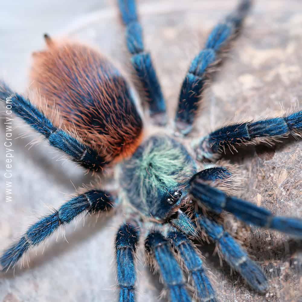 tarantula on messy web