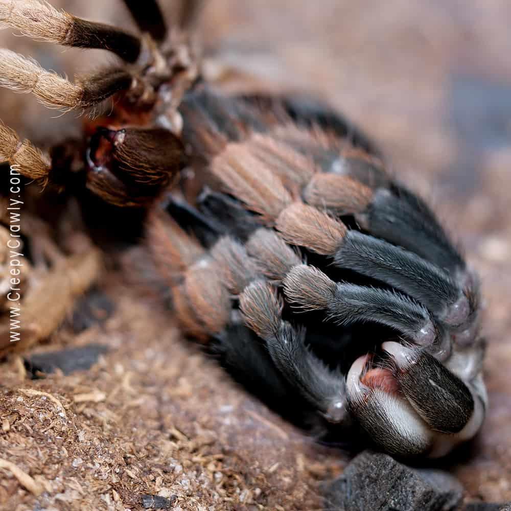 tarantula after molting