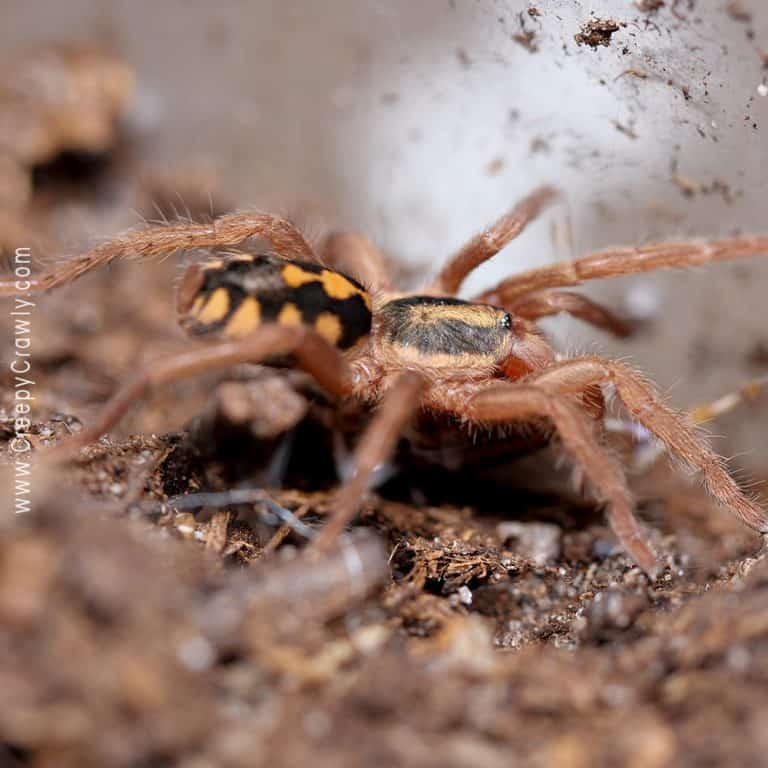Do Tarantulas Have to Eat Live Food?
