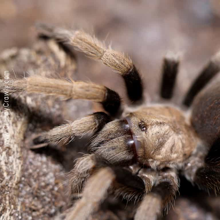 Why Are Male Tarantulas Undesired?